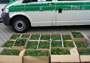 090315zoll-cannabis-stecklinge