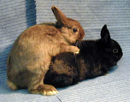 Кролики трахаются фото