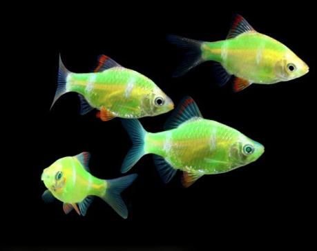 glofish_green