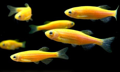 glofish_orange