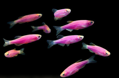 glofish_purple