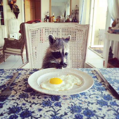 Raccoon breakfast