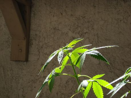 Cannabis-vegetative-growth-00003