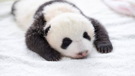baby-panda-basket-yaan-debut-appearance-china-10-650x366