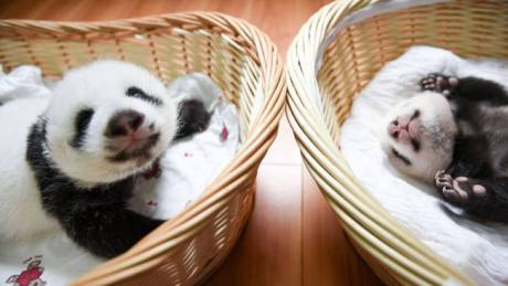 baby-panda-basket-yaan-debut-appearance-china-13-650x366