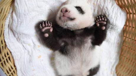 baby-panda-basket-yaan-debut-appearance-china-27-650x366