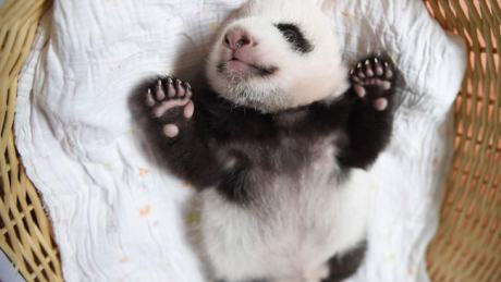 baby-panda-basket-yaan-debut-appearance-china-27-650x366