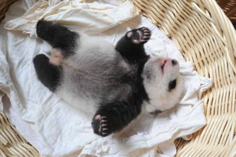 baby-panda-basket-yaan-debut-appearance-china-3-650x433