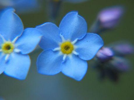 forget-me-not_closeup