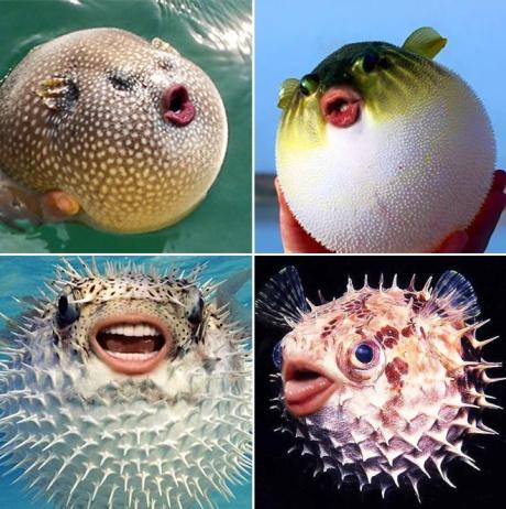 puffer-fish6